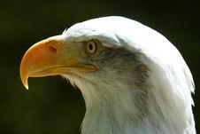 Free A Bald Eagle Royalty Free Stock Image - 15848606