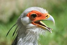 Free Secretary Bird Stock Photos - 15848623