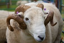 Free Ram With Horns And Ear Tags Royalty Free Stock Photos - 15848738