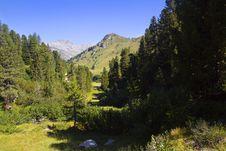 Free Mountain Pine Royalty Free Stock Photos - 15849118