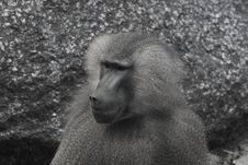 Baboon In Black And White Stock Image