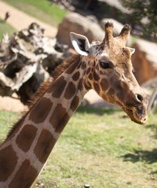 Free Giraffe Head Stock Photo - 15849910