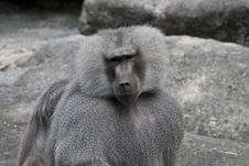 Free Baboon Looking At You Royalty Free Stock Photography - 15849927