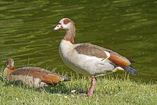 Free Egyptian Goose (Alopochen Aegytiacus) Stock Photos - 15849933