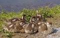 Free Egyptian Goose (Alopochen Aegytiacus) Stock Photo - 15850010