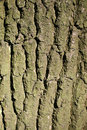 Free Tree Bark Royalty Free Stock Images - 15854119
