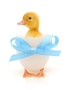 Free Duckling Royalty Free Stock Image - 15850026