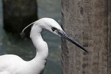 Free Little Egret (Egretta Garzetta) Royalty Free Stock Images - 15850039