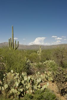 Free Cacti In The Sonoran Desert Royalty Free Stock Images - 15850209