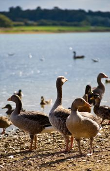 Free Trio Of Geese Royalty Free Stock Image - 15850756