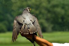 Free Hunting Falcon Stock Photos - 15850843
