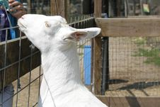 Goat Begging For Food Royalty Free Stock Images