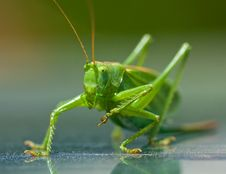 Free Portrait Of A Green Grasshopper, Royalty Free Stock Image - 15851056