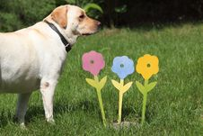 Free Artificial Flowers With Labrador Dog Royalty Free Stock Images - 15851869