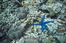 Blue Starfish Stock Photos