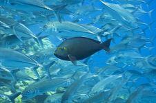 Free Fish Hiding In A School Of Jacks, Australia Royalty Free Stock Photography - 15852367
