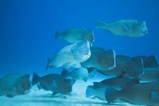Free School Of Humphead Fish Stock Photos - 15852443