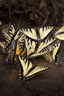 Free Butterflies Stock Photos - 15852583
