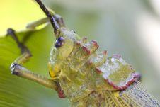 Free Locust On Banana Leaf Stock Photography - 15853132