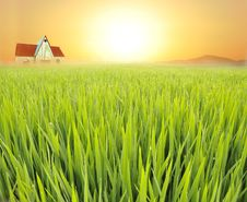 Free Paddyfield Royalty Free Stock Photo - 15853225
