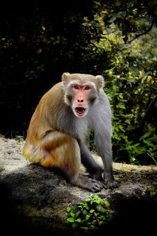 Free Monkey In The Nature Royalty Free Stock Images - 15853699
