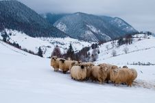 Sheep Flock In Mountain, In Winter Royalty Free Stock Photo