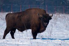 Free European Bison (Bison Bonasus) In Winter Royalty Free Stock Photos - 15853808