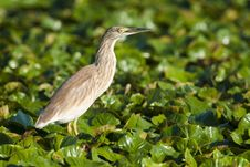 Free Silky Or Squacco Heron Stock Image - 15853881