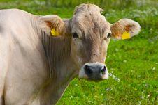 Free Cow On Green Grass Stock Photos - 15854353