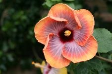 Chinese Hibiscus Royalty Free Stock Photo