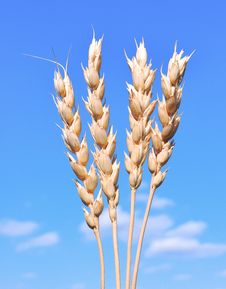 Ears Of Wheat Against The Blue Sky Stock Image
