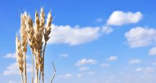 Ears Of Wheat Against The Blue Sky Royalty Free Stock Photo