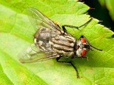 Free Red Eyed Fly On Green Leaf Royalty Free Stock Photos - 15858438
