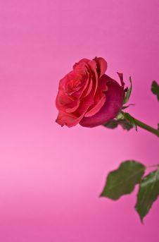 Free Red Rose Stock Photos - 15858473
