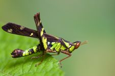 Free Grasshopper. Stock Photography - 15858822