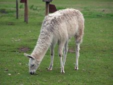 Free Llama Royalty Free Stock Photography - 15859047
