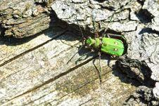 Free Green Tiger Beetle (Cicindela Campestris) Royalty Free Stock Photos - 15859198