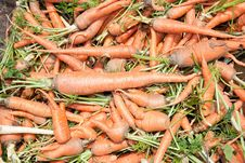Free Organic Fresh Carrots Piled Up Stock Photography - 15859272