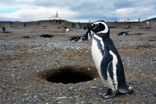 Magellan Penguins On An Island Royalty Free Stock Photo