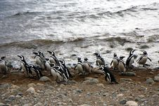 Free Magellan Penguins On An Island Stock Photo - 15859650