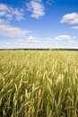Free Wheat Field Golden And Blue Sky Royalty Free Stock Photography - 15861837