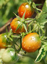 Free Wet Ripe Red Tomatoes Royalty Free Stock Photos - 15862038