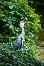 Free Grey Heron Eating Stock Images - 15862524