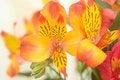 Free Alstroemeria Closeup Stock Photography - 15864152