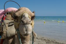 Free Funny Dromedary - Camel Tunisia Royalty Free Stock Image - 15860076