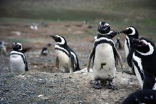 Free Magellan Penguins On An Island Royalty Free Stock Images - 15860169