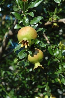 Young Pomegranate Fruits On The Tree Stock Photo