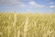 Free Wheat Field Golden And Blue Sky Royalty Free Stock Photography - 15861797