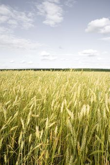 Free Wheat Field Golden Stock Photos - 15861853