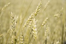 Free Golden Ears Of Wheat Stock Photo - 15861900